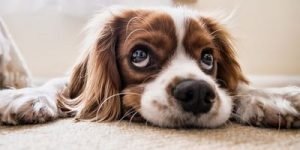 steam carpet cleaning 1 - dog